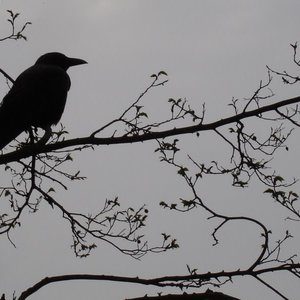 Profile raven